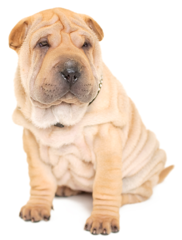 Black Pug and fawn coloured Shar-Pei isolated on a white backgound
