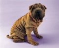 young-shar-pei_1